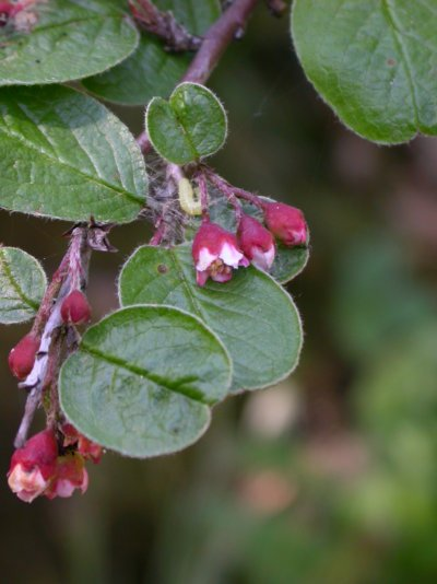 Cotoneaster niger